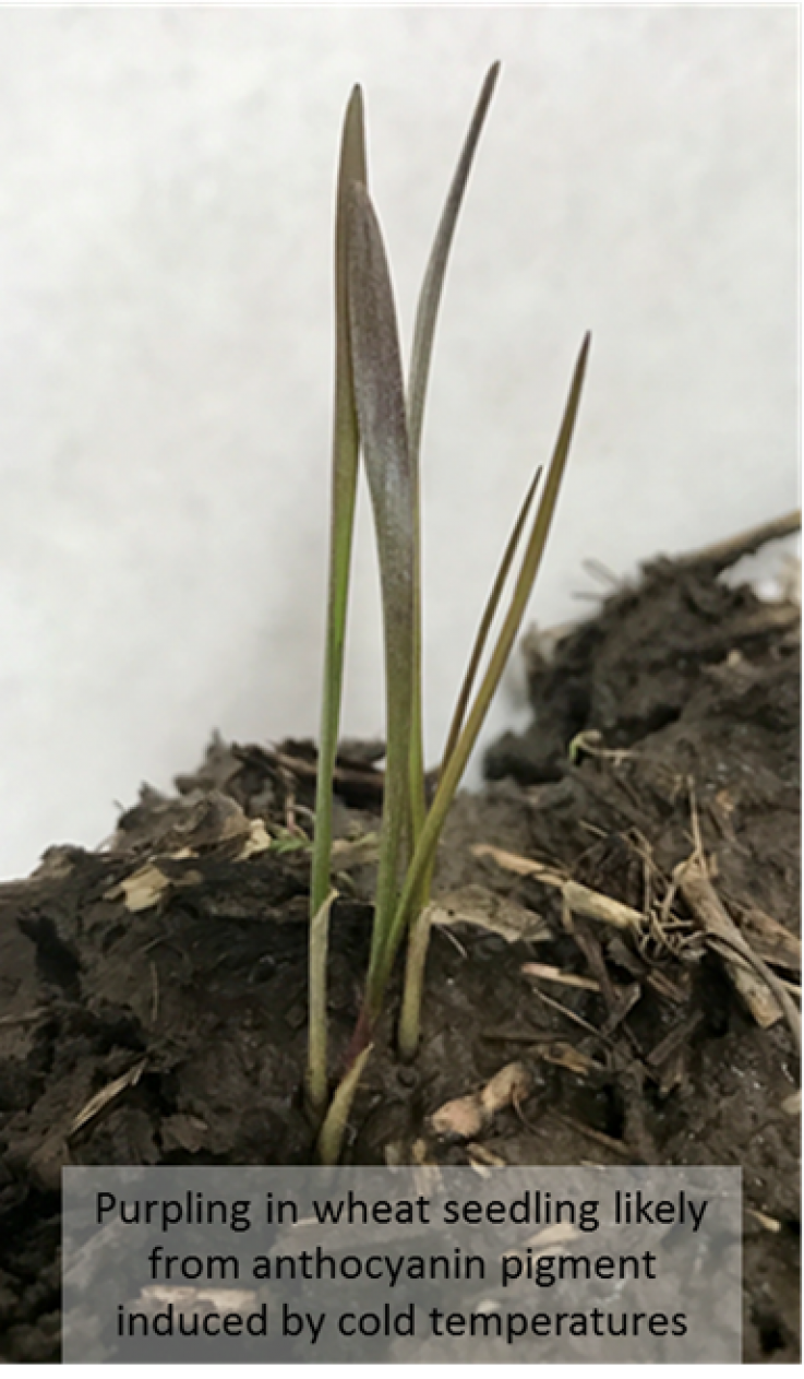 Purpling in Wheat Seedlings